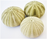 green thai sea urchin 3-pack