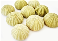 green thai sea urchin 12-pack