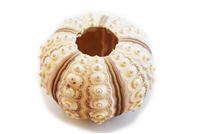 Sputnik Sea Urchin Shell