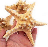 "Natural Knobby Starfish 4-5"" 12-Pack"