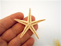 Starfish Tan Medium