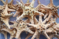 Chocolate Chip Starfish 7-8""