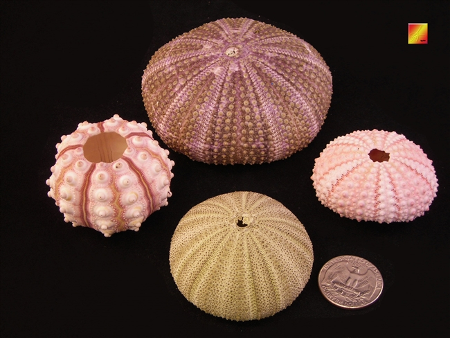 sea urchin pack 2