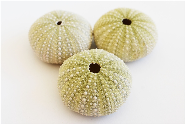 green philippine sea urchin