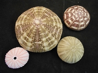 sea urchin pack 1