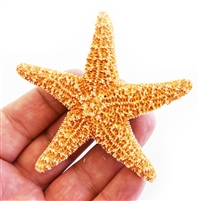 Sugar Starfish - small
