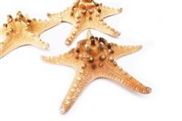 "X-Large Natural Knobby Starfish 6-7"" 6-pack"
