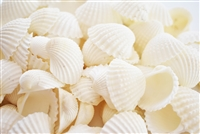 medium white ark shells