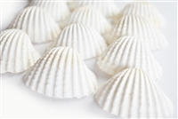 medium-large white ark shells