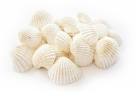 large white ark shells