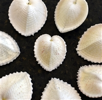 Heart Cockle White