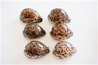 Tiger Cowrie Small