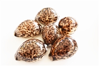 Tiger Cowrie Medium