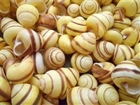 yellow land snail