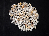 Tiny Mixed Nassa Shells