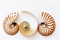 Triple Cut Nautilus