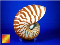 Tiger Nautilus small