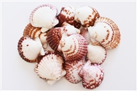 Calico Scallop Large