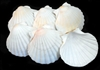Baking Scallop Shell