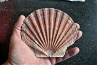 Irish Flat Scallop