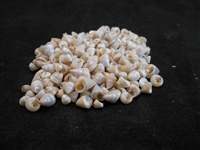Venetian Pearls (1 oz - about 150 shells)