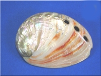 red polished abalone