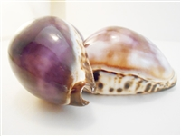 Purple Top Tiger Cowrie