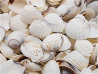 semi white clam