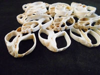 white center cut babylonia shells