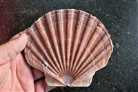 Large Irish Flat Scallops