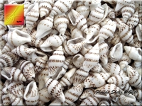 Striped Nassa Shells