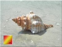striped fox conch