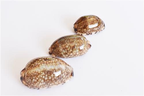 "6 Large Purple Top Tiger Cowrie Shells Seashell 3/"" Beach Crafts Nautical Decor"