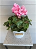 Bountiful Cyclamen in Tin