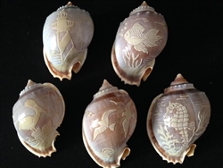 Carved Bonnet Shells Assorted Sealife