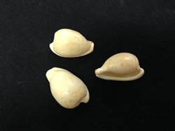 Cypraea Amphithales Beached