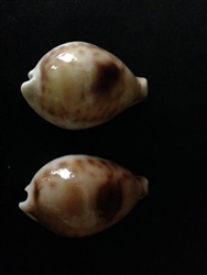 Cypraea Hirasei 42.5mm