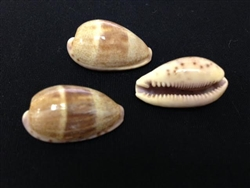 3 Cypraea Walkeri