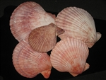 Pecten Nobilis Pairs Common Color