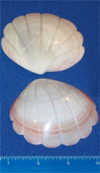 Codakia Tigerina-Scallop Design