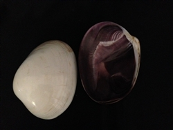 Quahog Polished Clam