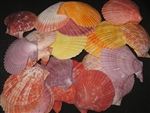 Pecten Nobilis Natural Colors Assorted Sizes