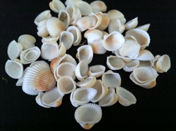 Tiny Tan & White Ark Shell