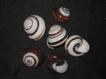 H. Roissya Black and White Land Snail