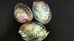Paua Abalone Polished