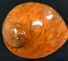"Midae Abalone Polished 5.5"" Orange"