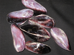 Polished Purple Mussel Pairs