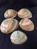 Natural Abalone 4-6 inch