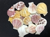 Pecten Plicate Natural Colors