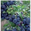 Blueberry - Premier (Mid Season) Green Tag